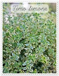 Le piante antizanzare da avere in casa - Piante aromatiche in casa ...