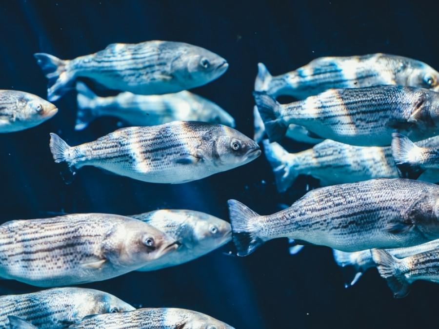 Il Pesce Azzurro
